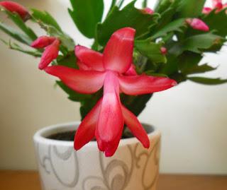 flor de la planta de Navidad