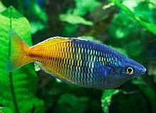 Freshwater Aquarium Fish Melanotaenia Boesemani Rainbowfishes Species