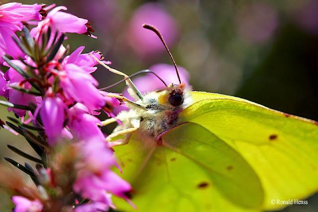 Schmetterlinge Falter Zitronenfalter