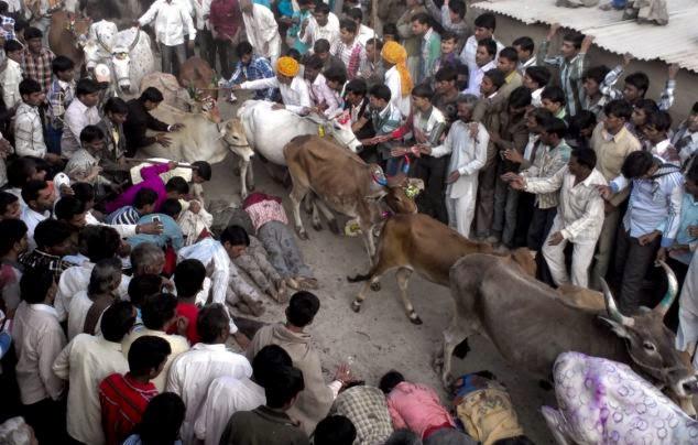 Tradisi Unik Dengan Sapi Diinjak Sapi India