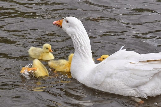 Embden goose and goslings