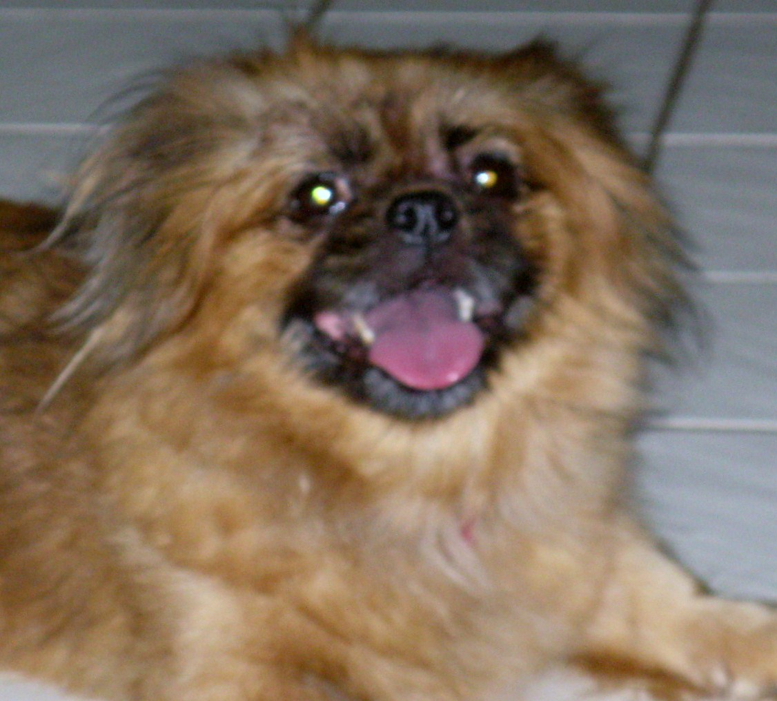 Pekingese Shih Tzu Mix With a week of steroids mixed