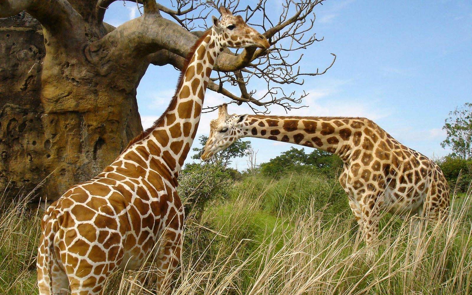 http://4.bp.blogspot.com/-x6dMJsqrWLs/T2QxD1XUPxI/AAAAAAAABv4/Zrw2d6SkntI/s1600/giraffe+2.jpg