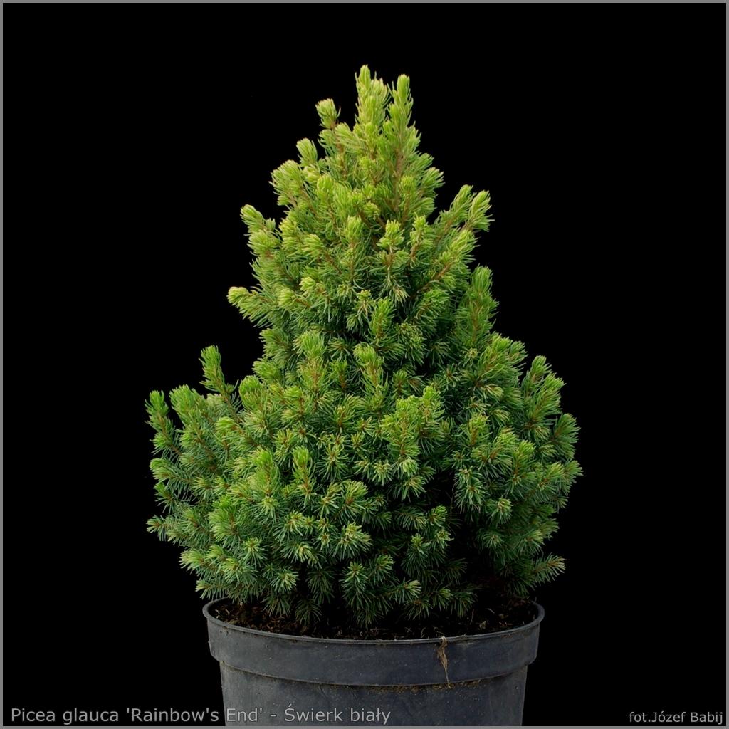 Picea glauca 'Rainbow's End' - Świerk biały 'Rainbow's End'