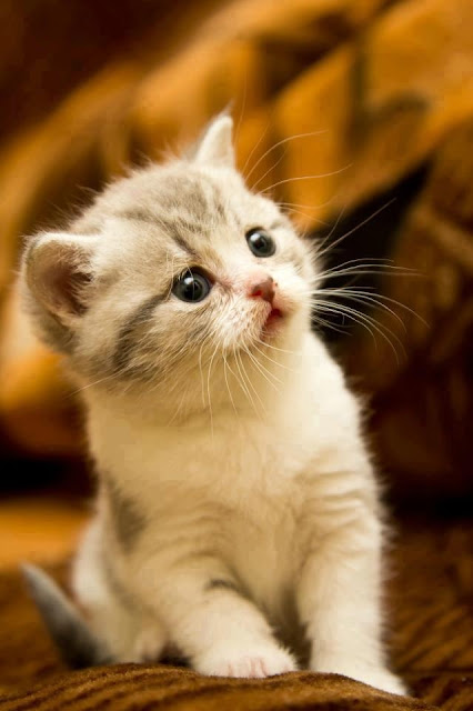 Surprised Kitten pictures