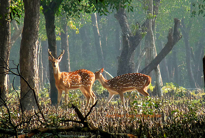 Deer is the king creature of Nijhum Dweep
