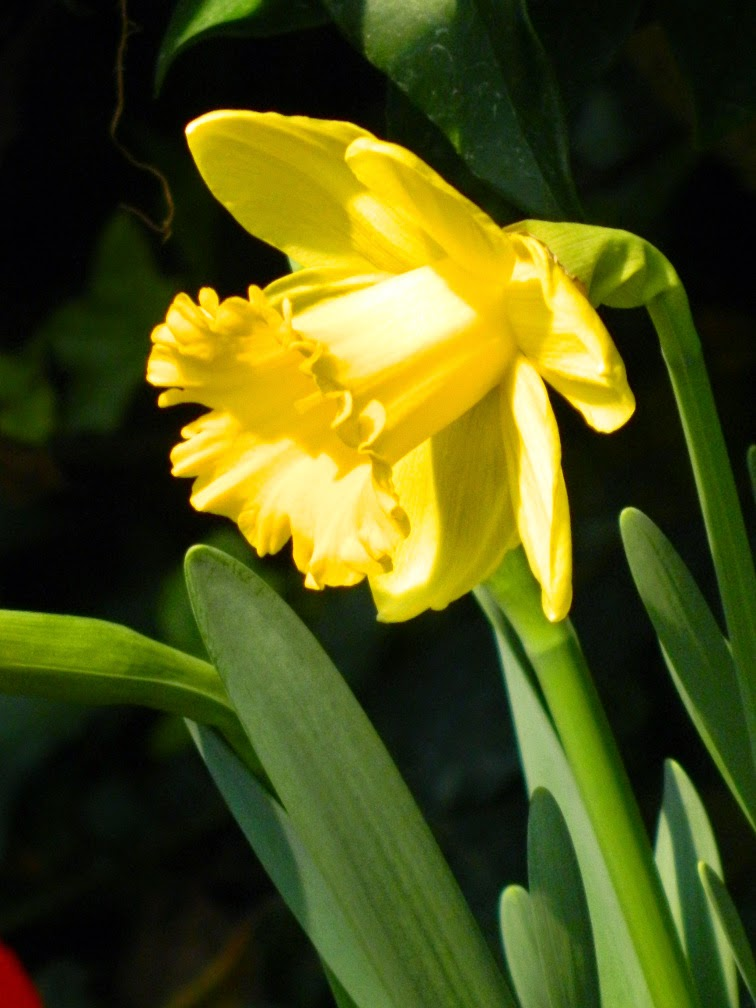 Centennial Park Conservatory 2015 Spring Flower Show yellow daffodil by garden muses-not another Toronto gardening blog