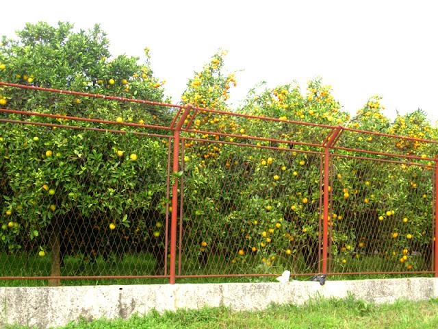 Mandarine garden