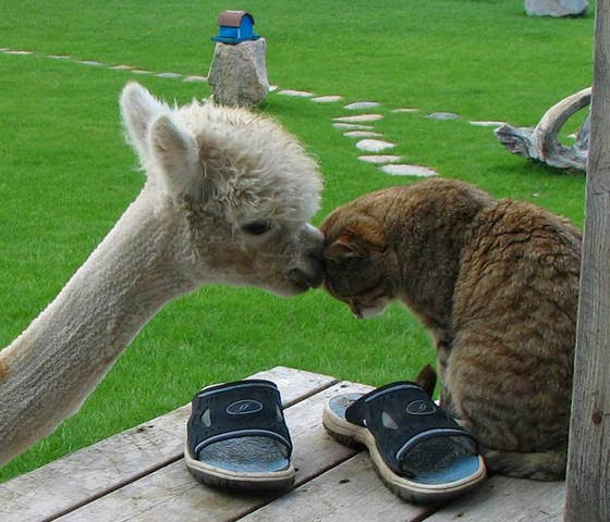 foto persahabatan seekor alpaca dan sepasang kucing 06