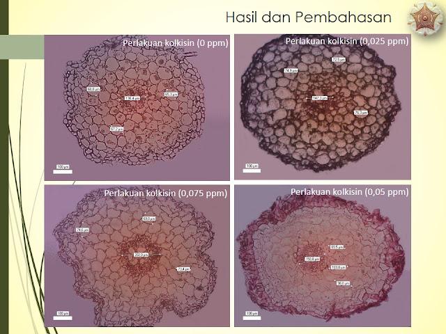 Kajian Anatomi Akar, Pseudobulb dan Daun Anggrek Tanah Spathoglottis