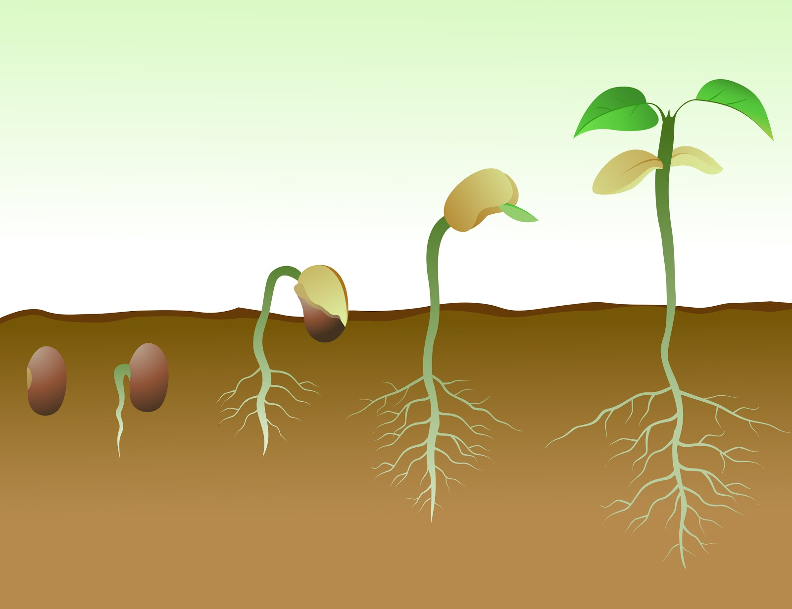 germination in plants Germination occurs when a spore or seed starts to grow it is a term used in botany when a spore or seed germinates, it produces a shoot or seedling, or .