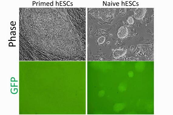 ESCs vs naive ESCs
