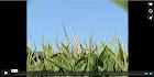 TranXgenia. La historia del gusano y el maíz.