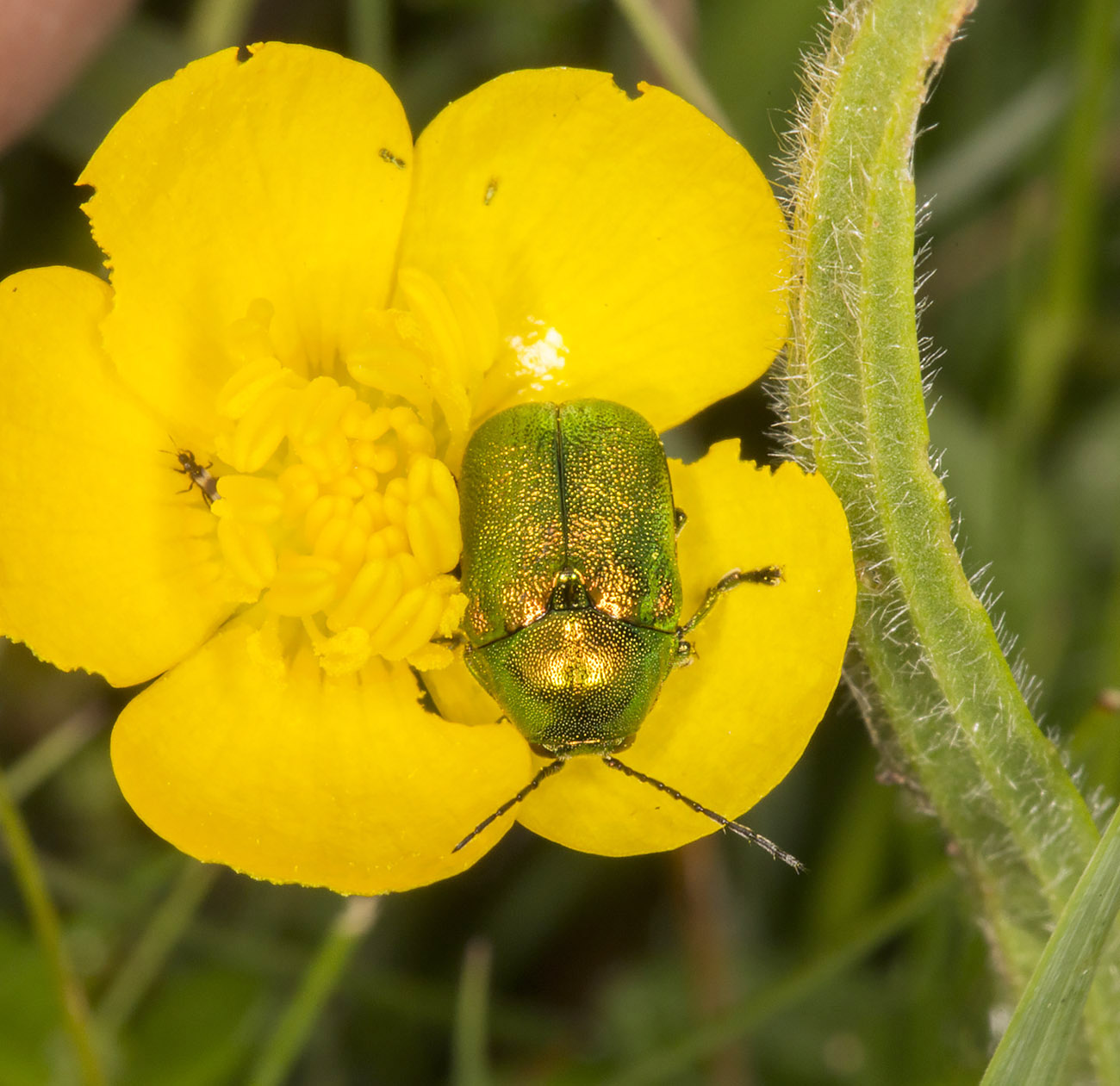 Leaf Beetle, Cryptocephalus aureolus.  Queendown Warren with the Orpington Field Club, 24 May 2014.