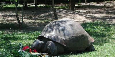 Foto Kura-kura bernama Adwaita