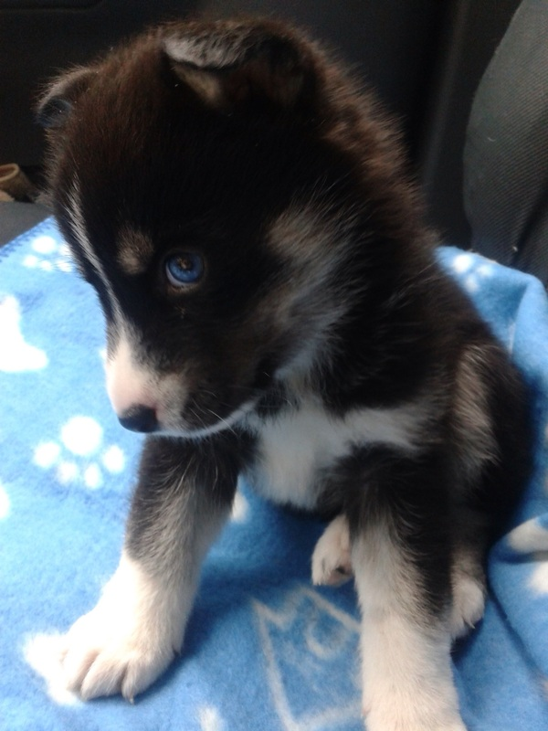 White Pomsky With Blue Eyes Images Pictures Becuo