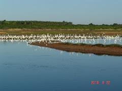 As garças em uma lagoa da caatinga
