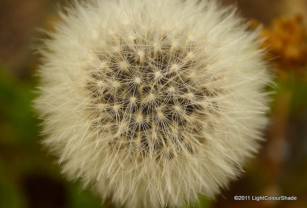 Dandelion taraxacum seeds (achenes)
