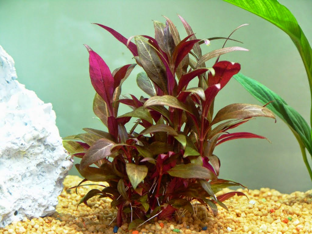Peces y plantas ornamentales alternanthera reineckii for Acuarios ornamentales