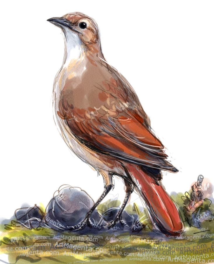 Rufous Hornero sketch painting. Bird art drawing by illustrator Artmagenta