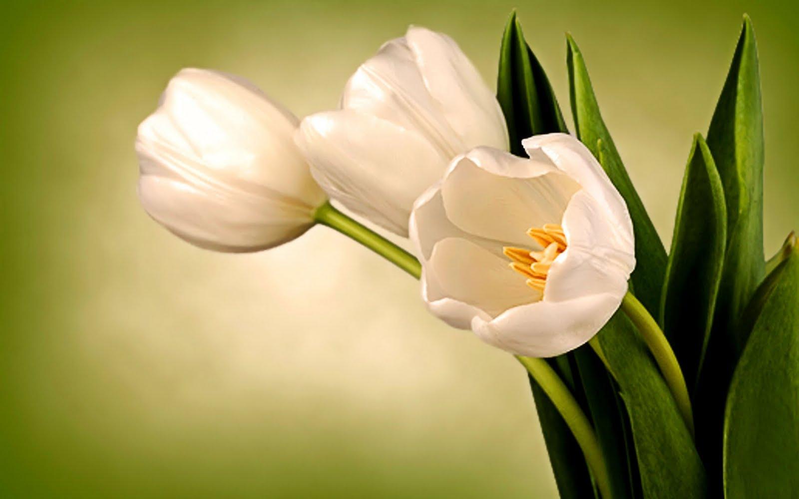 http://4.bp.blogspot.com/-x9ImMiaNzU0/TZMkOAB3UbI/AAAAAAAAB58/1DnTr2tk24Y/s1600/54-white-tulips.jpg