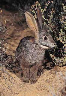 Kelinci Riverine (Bunolagus monticularis)|Data 7 Hewan Langka Yang Hampir Punah