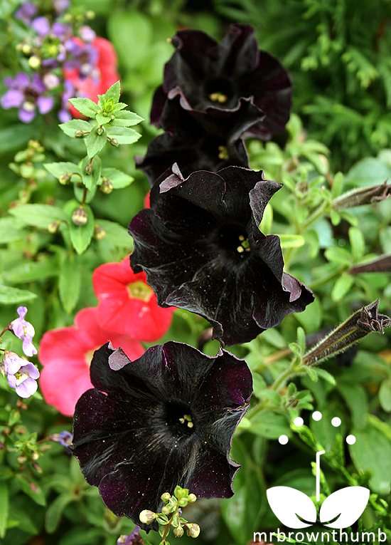 Black Cat Petunias by Burpee Seed Company