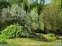 http://plantsgallery.blogspot.com/2008/07/elaeagnus-angustifolia-oliwnik.html