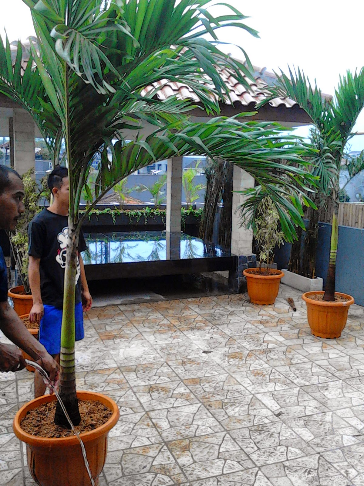 Jual pohon palm putri | suplier tanaman | tanaman hias | jasa desain taman