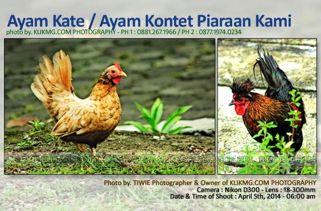 AYAM KATE / AYAM KONTET Piaraan Kami, Photo oleh KLIKMG.COM Photography - (Photographer Purwokerto / Photographer Indonesia / Photographer Banyumas)