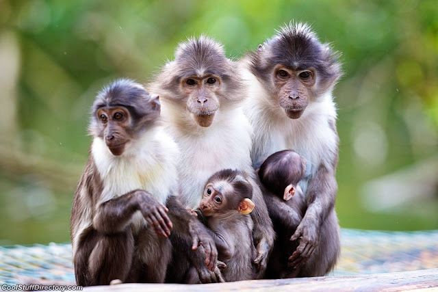 Two white-collar mangabey were born at the zoo in Dublin, Ireland