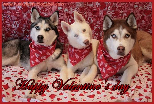 Siberian husky Valentine's day