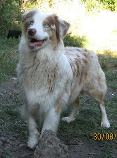 Australian Shepherd Dog Pictures