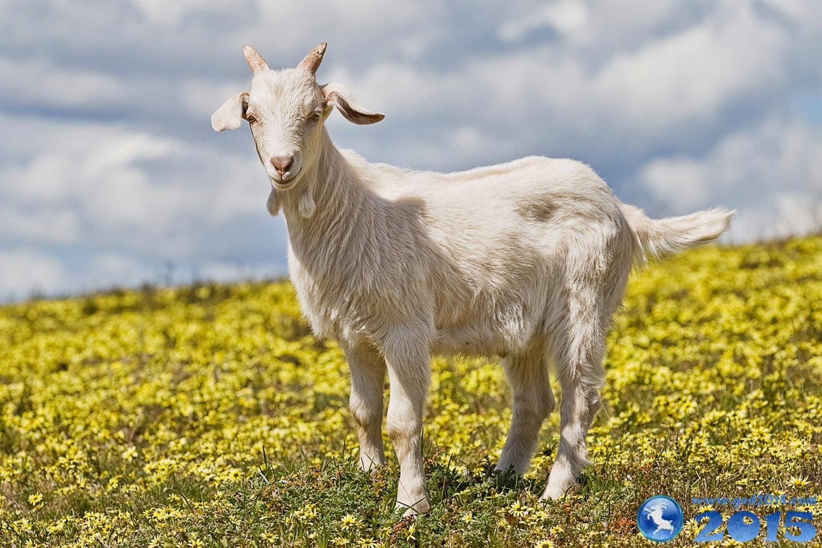 2015 год какого животного: символ года и его характеристика, какими будут дети, родившиеся в год Деревянной Козы, браки в год козы