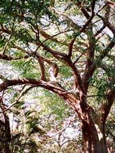 narra or angsana pterocarpus indicus narra tree is a striking large