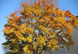 Paltinul de camp (Acer platanoides)