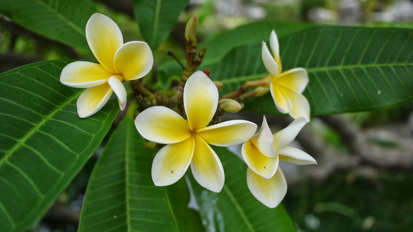 Chinese Gardens of Friendship Sydney Frangipani Flower