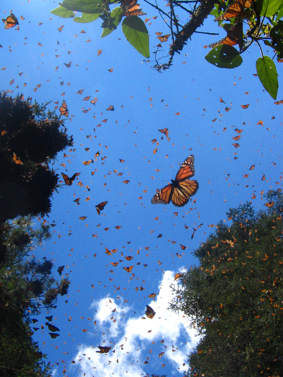 Monarch butterflies flying away - photo#7
