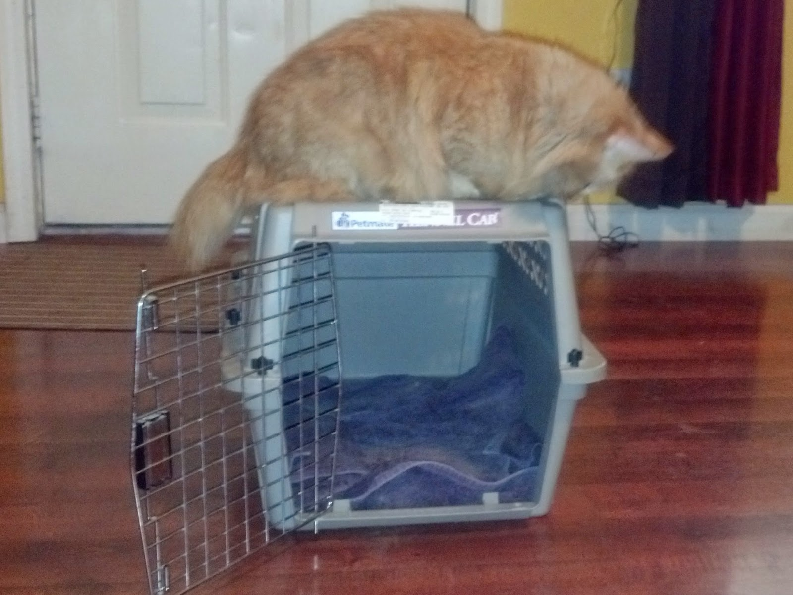 how to get a mean cat in a carrier