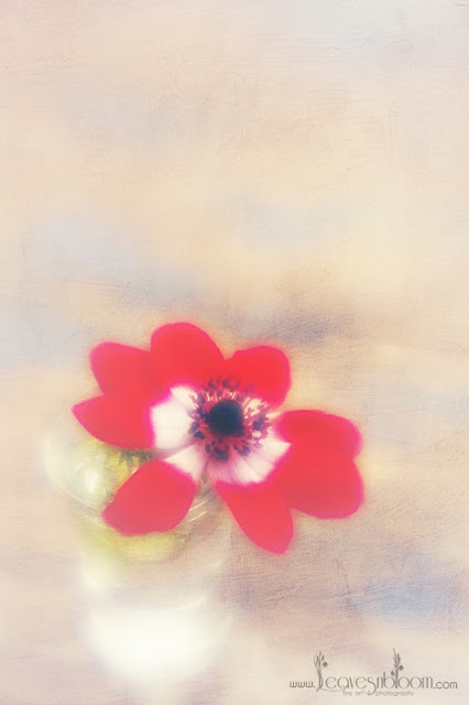 lensbaby blur - red anemone flower