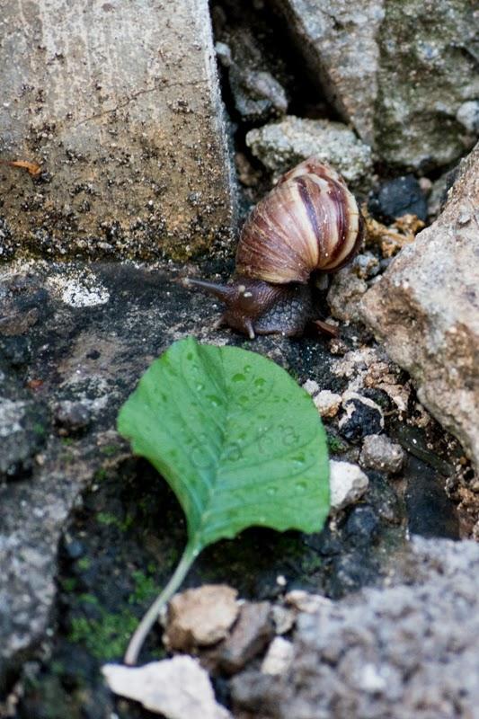 Escargot devant une feuille verte
