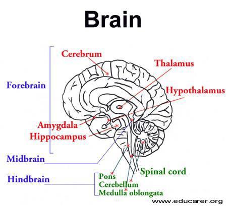 Brain Development3