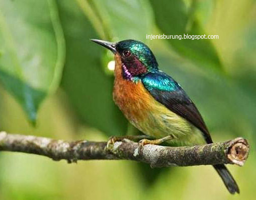 Jenis Burung Kolibri Wulung