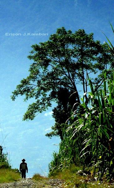 di ladang tebu, lereng Singgalang