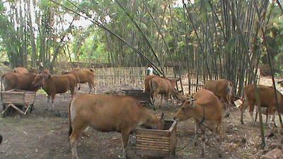 sapi pada lokasi kandang