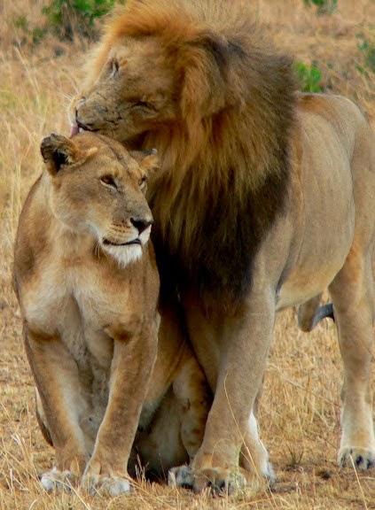 Alluring Planet Lion Pair