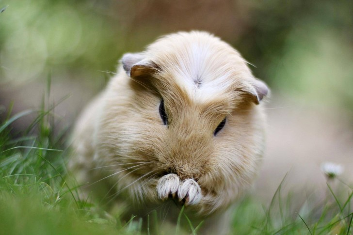 天竺鼠の画像 p1_1