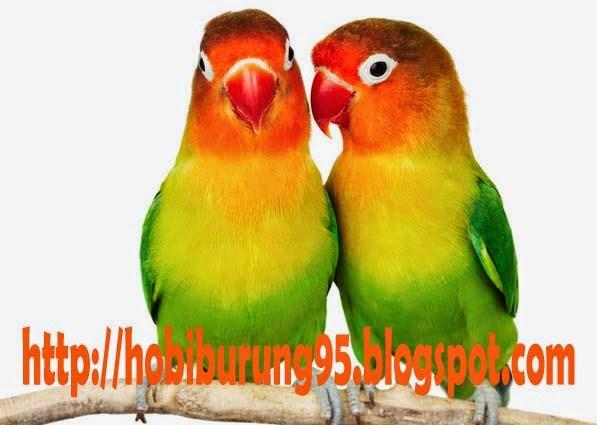 Cara Ternak Burung Lovebrid