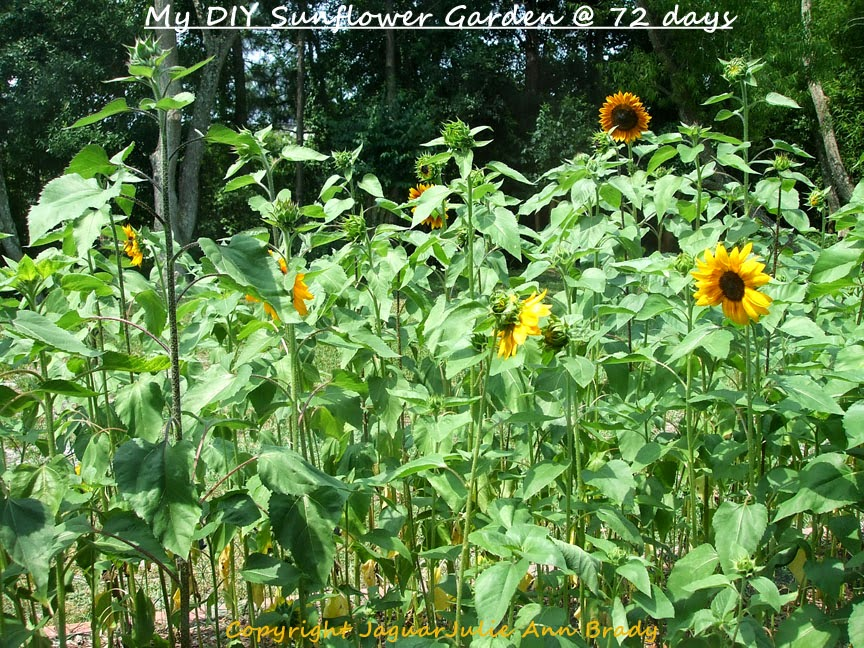 My Second DIY Garden of Sunflowers at 72 Days ~ JaguarJulie