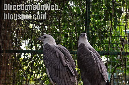 couple eagles at albay park & wildlife